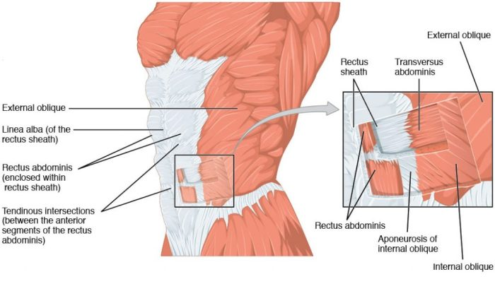 Muscles-of-the-Anterolateral-Abdominal-Wall-1024x604